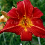 Hemerocallis 'Major Hubal'