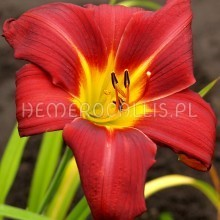 Hemerocallis 'Music Man'