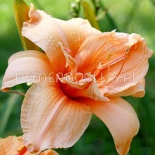 Hemerocallis 'Double Dream'