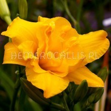 Hemerocallis 'Double Klondyke'